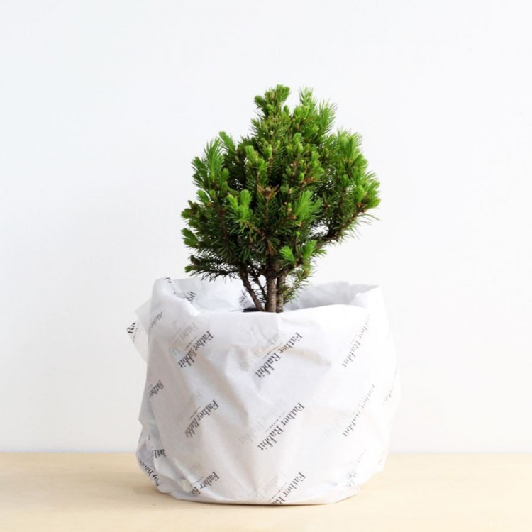 Father Rabbit Tree Conifer, $20